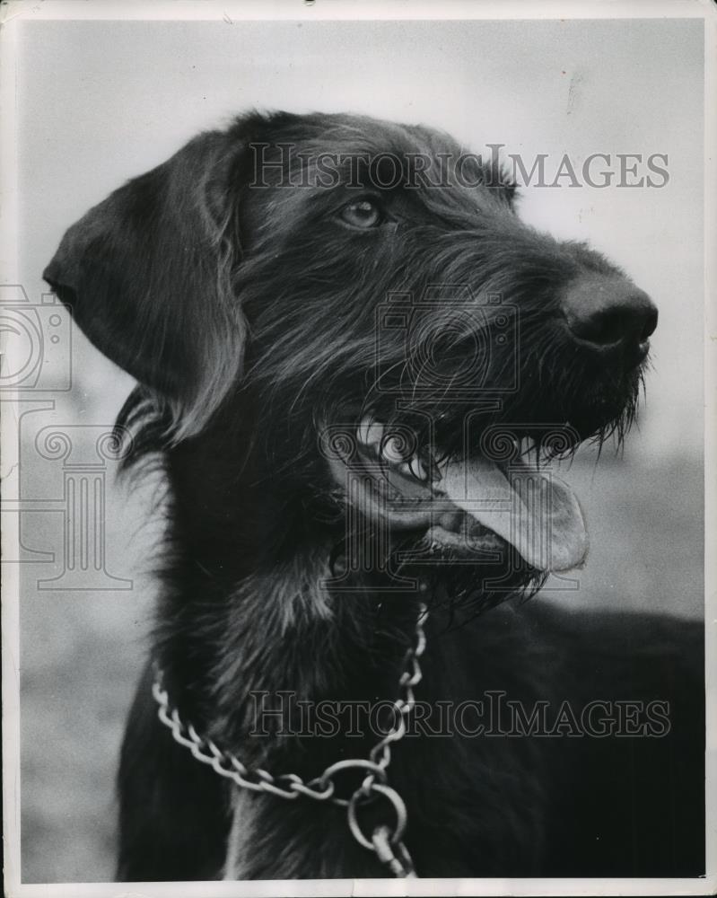 Wunderbar Haar Terrier Standard Bilder - Elektrische Schaltplan ...
