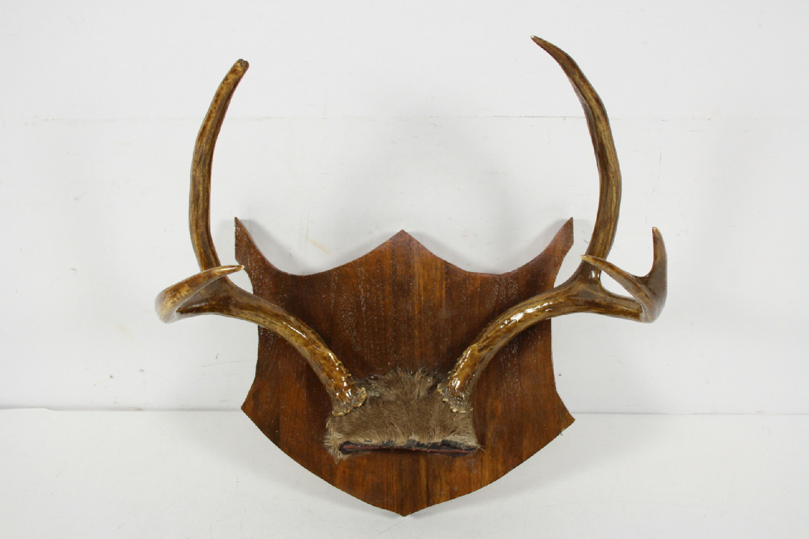 5 point plaque shield mounted white tail deer antler wall for Antler wall decor