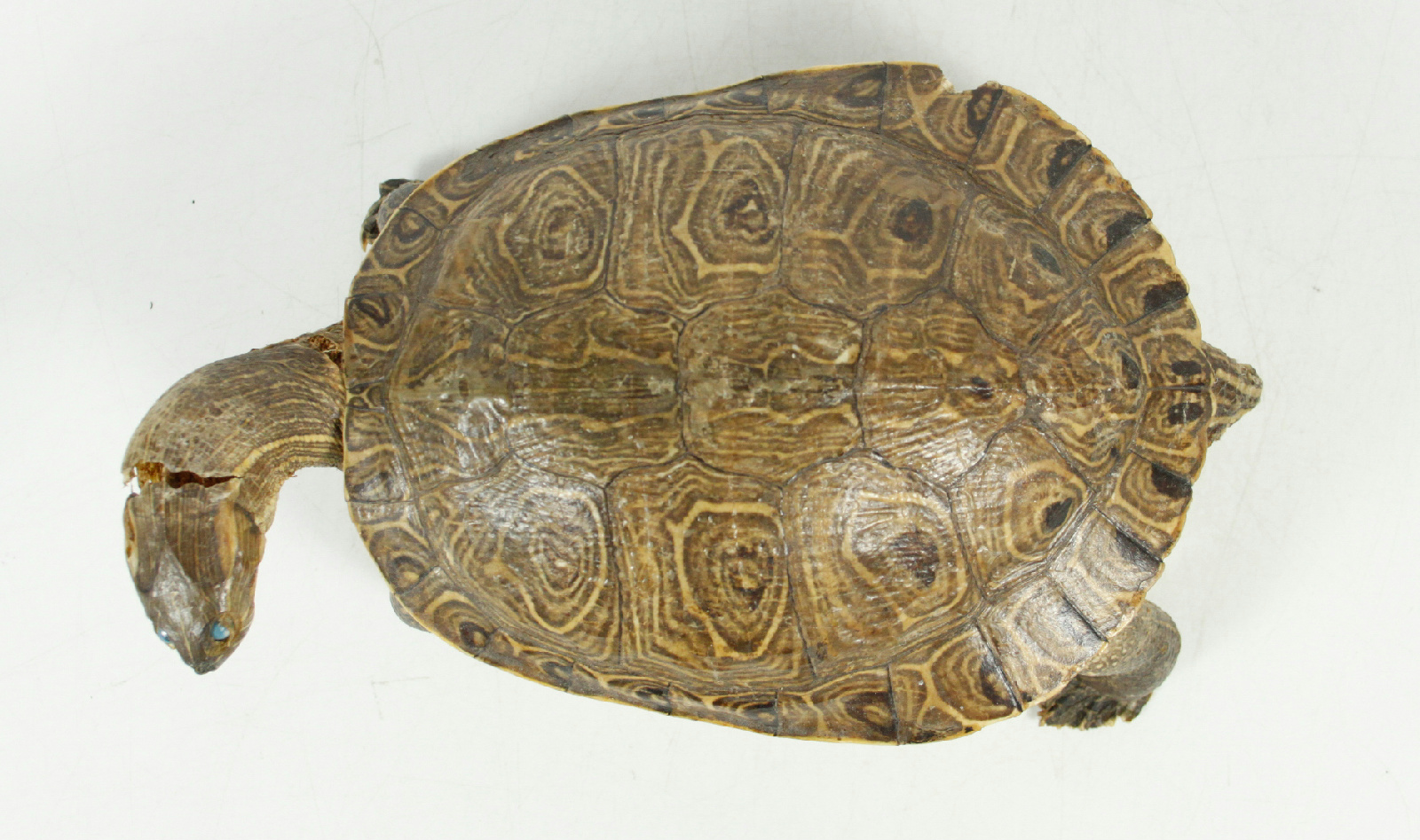 vintage real full size taxidermy turtle rustic cabin home faux taxidermy soft toy home decor wall art hand