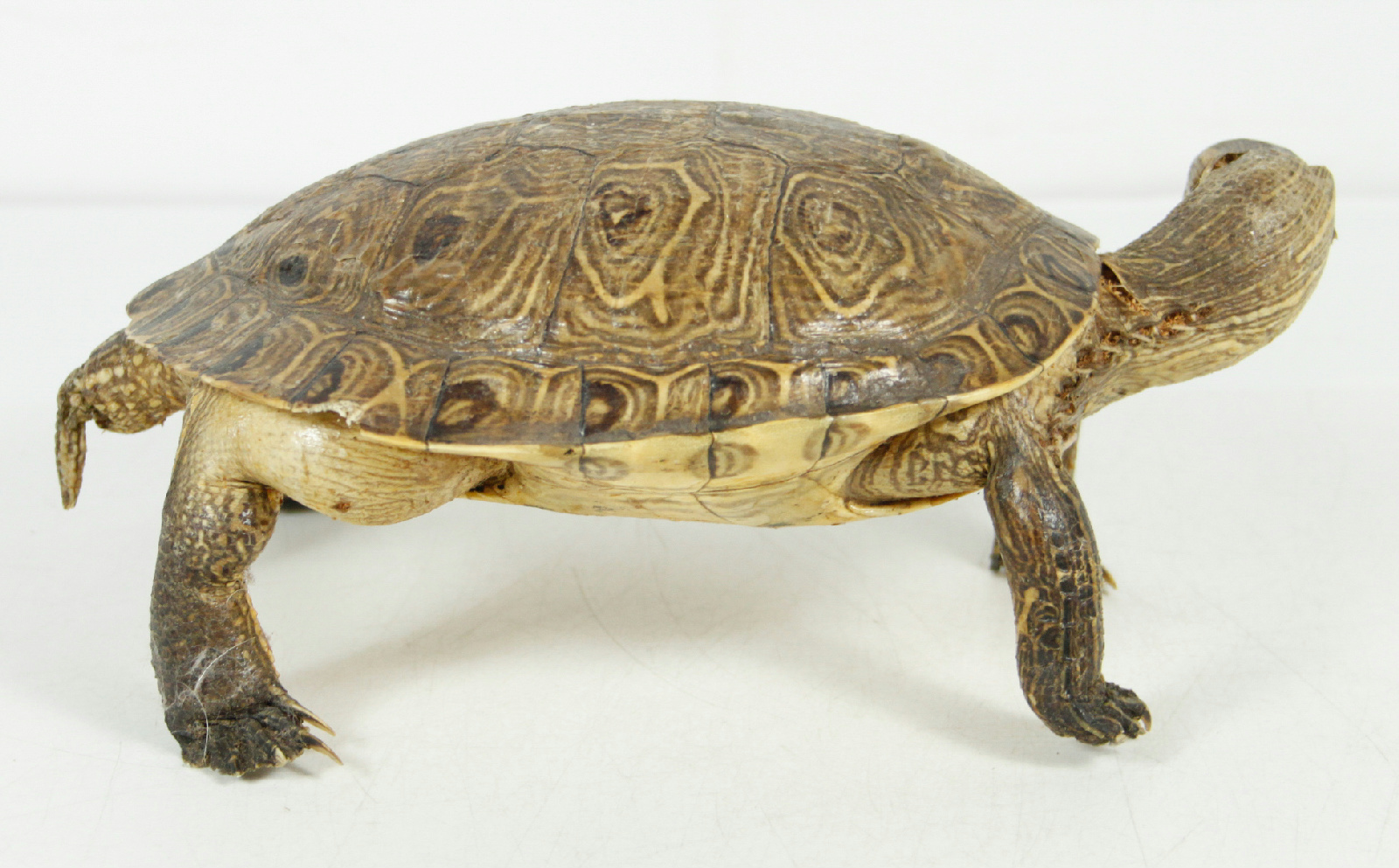 Vintage Real Full Size Taxidermy Turtle Rustic Cabin Home ...